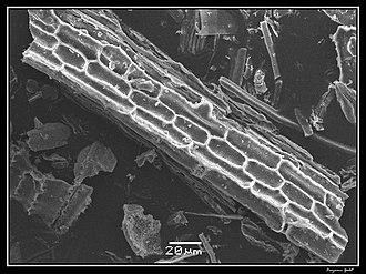 Phytolith - Image: Phytolithes observés au Microscope Electronique à Balayage 06