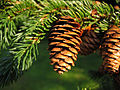 Picea rubens UGA5349098.jpg