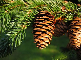 Picea rubens - Image: Picea rubens UGA5349098
