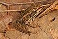 Pickerel Frog - Lithobates palustris, Prince William Forest Park, Triangle, Virginia (39146952691).jpg
