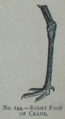 Picture Natural History - No 144 - Right Foot of Crane.png