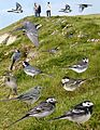 Pied Wagtail from the Crossley ID Guide Britain and Ireland.jpg