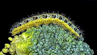 Pieris brassicae (caterpillar).jpg