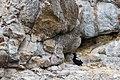 Pigeon guillemot (35688977344).jpg