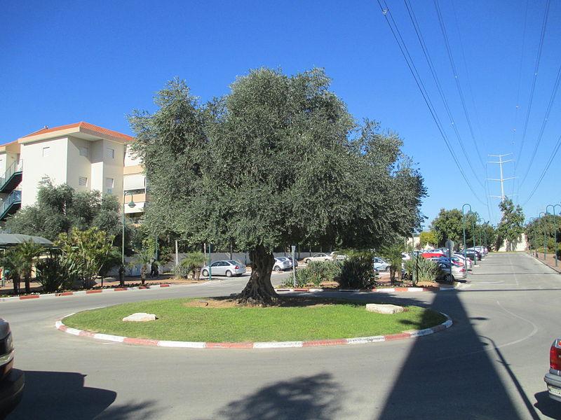 עץ זית