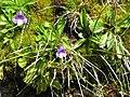 Pinguicula vulgaris001.jpg