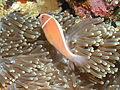 Pink Anemonefish - Bunaken.jpg