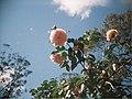 Pink Camellia flowers - Flickr - Matthew Paul Argall.jpg