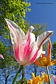 Pink and white tulip - panoramio.jpg