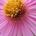 Pink more (3989182781).jpg