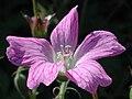 Pink veined geranium.JPG