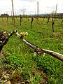 Pinot noir bud break in Eola Amity Hills at the end of April 2012.jpg