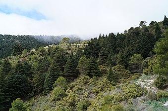Pinsapos Sierra de las Nieves - Yunquera (Málaga).JPG