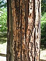 Pinus brutia trunk 01 by Line1.jpg