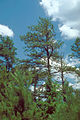Pinus echinata with Phytophthora.jpg