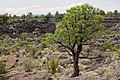 Pinus ponderosa subsp brachyptera, Grants Malpais, Cibola Co, New Mexico.jpg