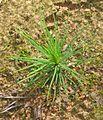 Pinus syvestris seedling.jpg