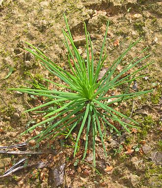 Scots pine - Seedling with flatter, unpaired juvenile leaves