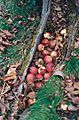 Piper Orchard hollow trunk with fallen apples.JPG