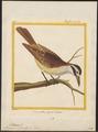 Pitangus sulphuratus - 1700-1880 - Print - Iconographia Zoologica - Special Collections University of Amsterdam - UBA01 IZ16500311.tif