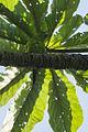 Plain - Parakeet - Intervales NP - Brazil S4E9741 (12931321274) (2).jpg