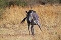 Plains Zebra Equus quagga (16929368435).jpg