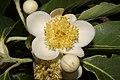 Plant Schima Flower IMG 8544 03.jpg