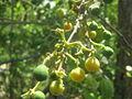 Plant X006 Fruit 02.JPG