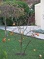 Plant de kaki (Persimmon) à Vaires-sur-Marne.jpg