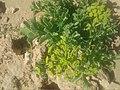 Plante sahara.jpg