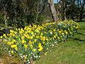 Planted daffodils.jpg