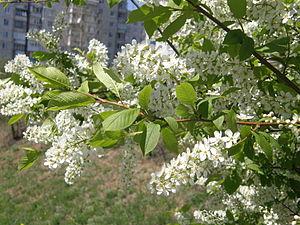 Prunus padus - A blooming hackberry tree in Donetsk, Ukraine