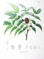 Platycarya strobilacea SZ149.png