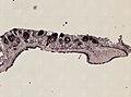 Pleioplana atomata (YPM IZ 073711) 01.jpeg