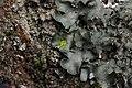 Pleurosticta acetabulum (41048337402).jpg