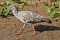 Plumbeous Ibis (Theristicus caerulescens) (31418983500).jpg