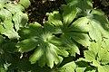 Podophyllum peltatum 41zz.jpg