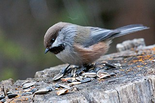 Boreal chickadee species of bird