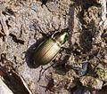 Poecilius cupreus - Flickr - gailhampshire.jpg