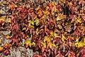 Poertschach Hauptstrasse Parthenocissus tricuspidata Blattwerk 13112016 5389.jpg