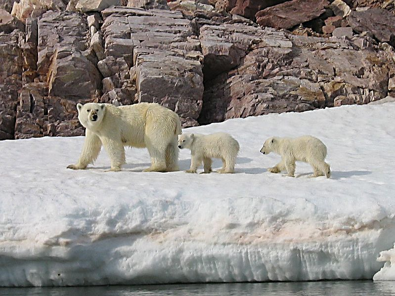 File:Polar Bear Mother and Cubs detail.jpg