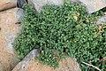 Polycarpon tetraphyllum kz6.jpg