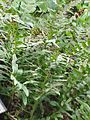 Polypodium vulgare3.jpg