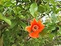 Pomegranate flower 06.jpg