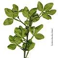 Poncirus trifoliatus leaves.jpg