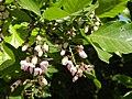 Pongamia Flowers.jpg