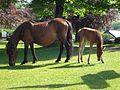 Pony and foal, Widecombe, Dartmoor, 8 June 2013.jpg