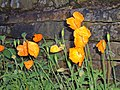 Poppies - geograph.org.uk - 173158.jpg