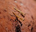 Praying Mantis (6941426232).jpg