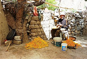 Apricot - Preparing apricots in the grounds of Alchi Monastery, Ladakh, India